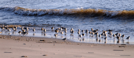 shorebird: sand pipers are preying on the beach