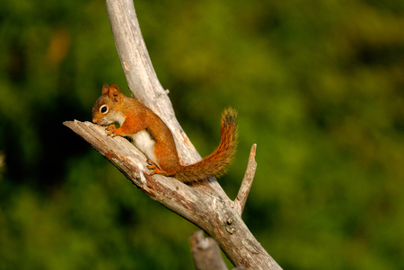 red squirrel is stay on the tree 版權商用圖片 - 34657181