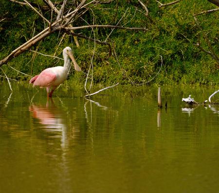 slaty: roseate spoonbill is standing in the freshwater