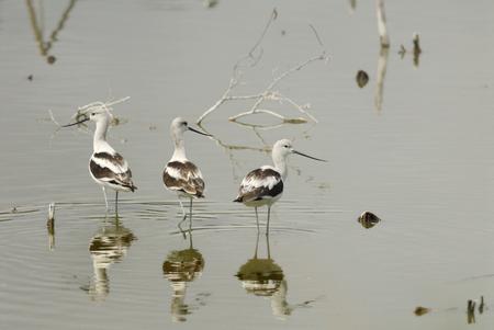 freshwater: american avocet is walking in the freshwater