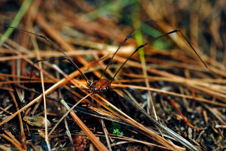daddy long legs: Daddy-long-legs spider is crawling on the grass Stock Photo