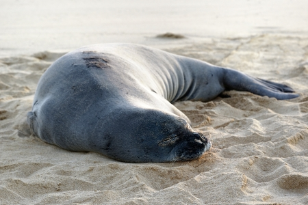 Hawaii Monk Seal is sleeping on the beach 版權商用圖片
