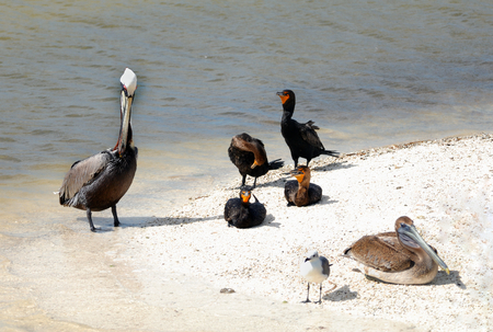 Pelicans Cormorants and seagulls are get together on the beach