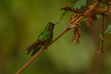 coronet: Buff-tailed coronet hummingbird of Ecuador Stock Photo