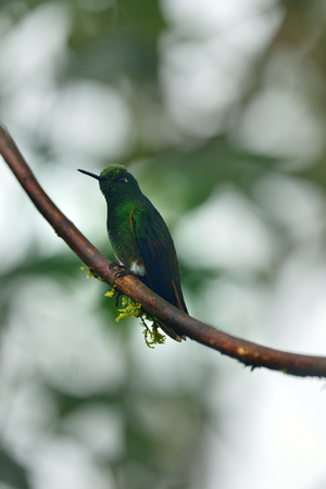 coronet: Buff-tailed coronet hummingbird of Ecuador Stock Photo