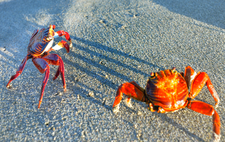 Couple of Sally Lightfoot Crabs in Galapagos Islands