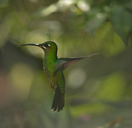coronet: Bufftailed coronet hummingbird of Ecuador