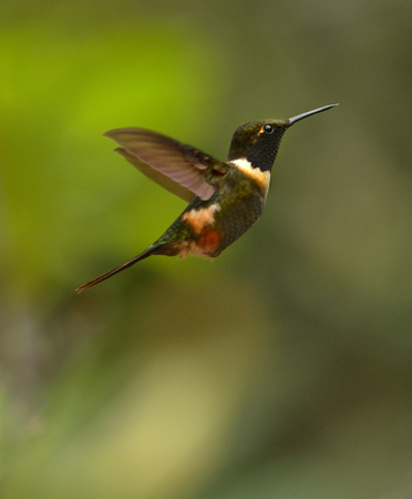 Purplethroated Woodstar Hummingbird is flying in Ecuador 版權商用圖片