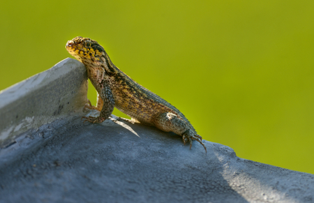 small reptiles: curly tail lizard is climbing on the roof Stock Photo