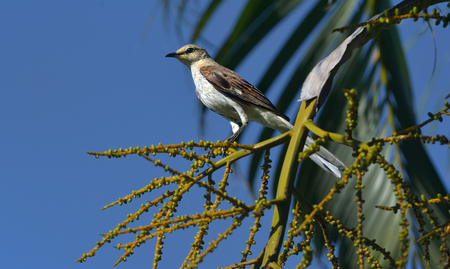 Northern Mockingbird is perch the palm tree. 版權商用圖片