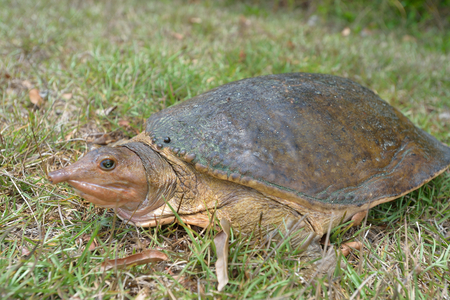 Florida softshell turtle is climbing on the grass 版權商用圖片