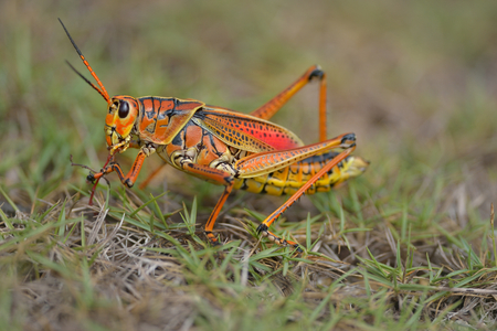 southeastern lubber grasshopper is landing on the grass 版權商用圖片