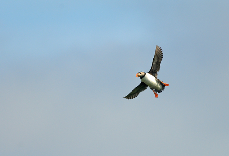 Puffin is flying in the sky