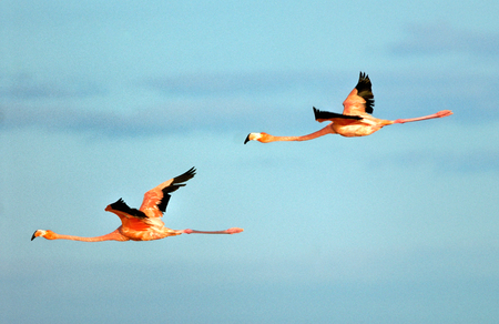 Greater Flamingosphoenicopterus roseus in flight
