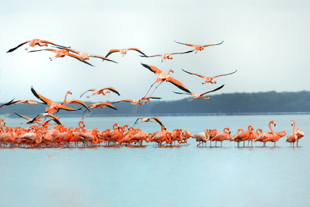 Greater Flamingos,phoenicopterus roseus, in flight