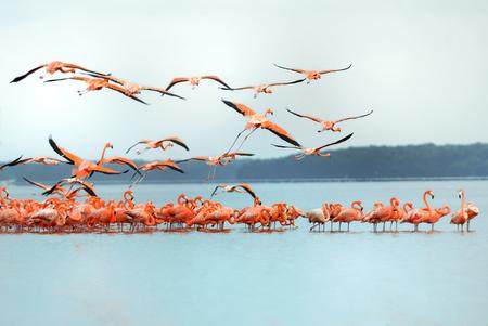 greater: Greater Flamingos,phoenicopterus roseus, in flight