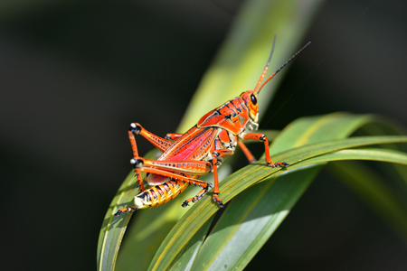 southeastern: southeastern lubber grasshopper is landing on the grass Stock Photo