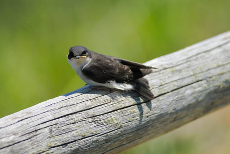 baby tree swallow is perching on the truck