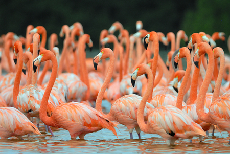 Flock of greater flamingos Phoenicopterus roseus in Mexico 版權商用圖片