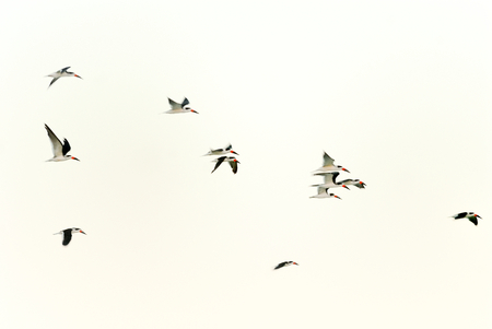 The American Oystercatchers flying through the Gulf of Mexico