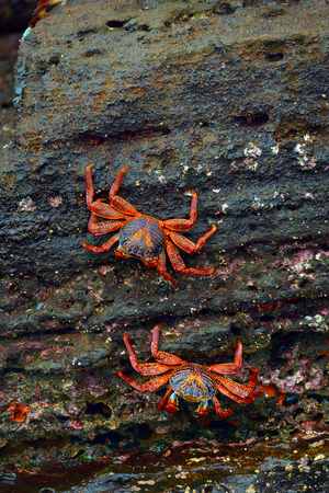 The Sally Lightfoot crabs are a brightly coloured coastal scavenger, found in the Galapagos Islands.