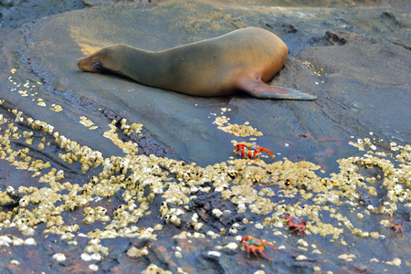 baby sea seal with crabs in Galapagos island 版權商用圖片