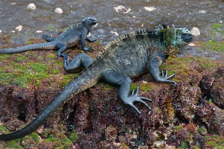 The marine iguana is an iguana found only on the Galpagos Islands.