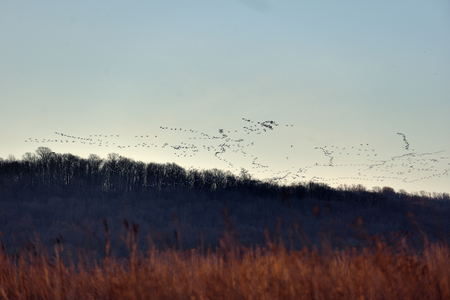 Thousands of Snow Geese migration flying at the middle creek wildlife management area in Lancaster County, Pennsylvania, USA