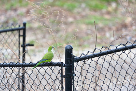 quaker: Quaker parrot is preying on the fans in Edgewater NJ Stock Photo