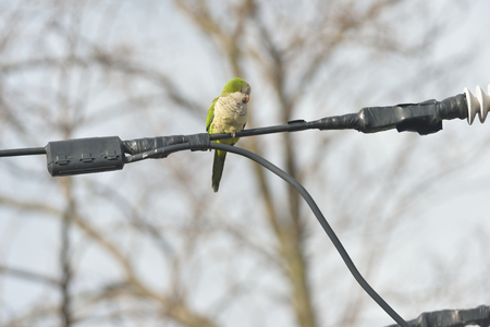 Quaker parrot is preying on the wires in Edgewater NJ 版權商用圖片