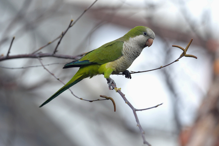 Quaker parrot is nesting in Edgewater in NJ