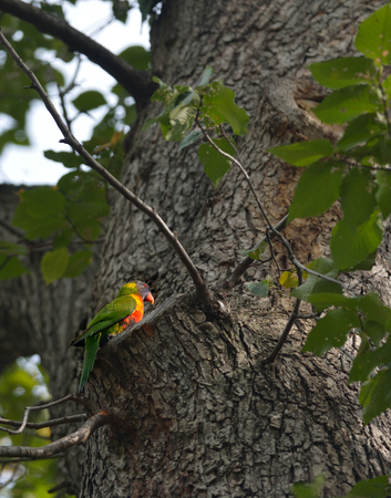 Rainbow Lorikeet is landing in the tree 版權商用圖片