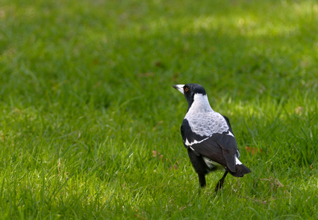 Australian magpie is a medium-sized black and white passerine bird native to Australia