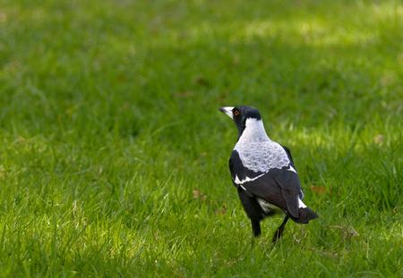passerine: Australian magpie is a medium-sized black and white passerine bird native to Australia