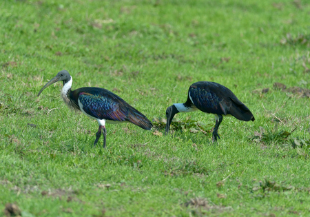 Straw-necked Ibis are eating grass 版權商用圖片