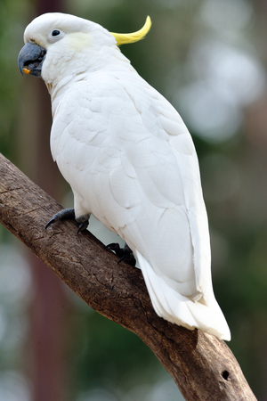 sulphur Crested Cockatoo is perching on the tree 版權商用圖片