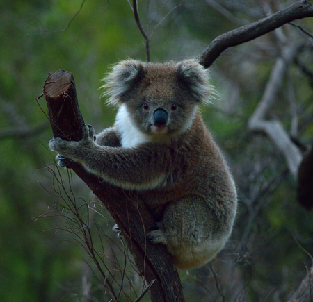 koala bear is climbing the tree in Australia