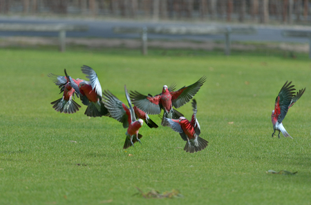 Galahs are flying in the grass