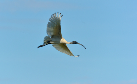 Australian white ibis is flying in the sky
