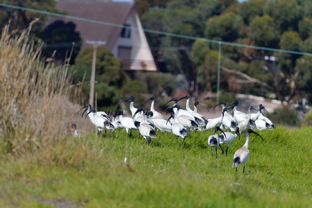 Australian white ibis are walking on the countryside 版權商用圖片