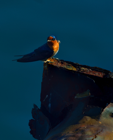 warble: welcome swallow is perched on the iron Stock Photo