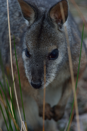 wallaby is watching me in Kangaroo island