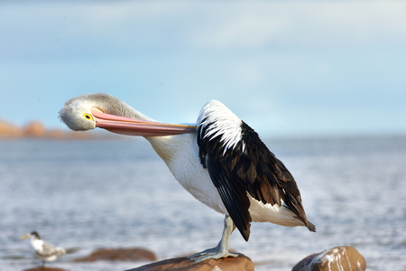 Australian Pelican is posing on the ocean 版權商用圖片