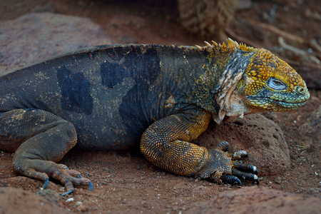 Conolophus subcristatus is land iguana on the ground 版權商用圖片