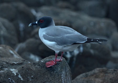 Swallow-tailed gull is sitting on the rock 版權商用圖片