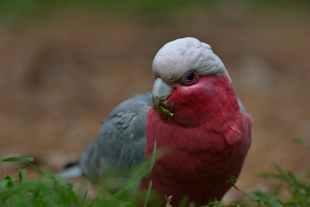 Galah Parrot is looking in front in the grass 版權商用圖片