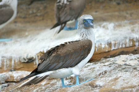 blue-footed booby is perching on the ground 版權商用圖片