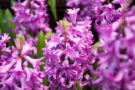 sensation: Hyacinth Purple Sensation
