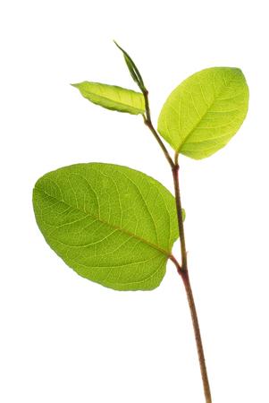 Asian knotweed shoot isolated on white background