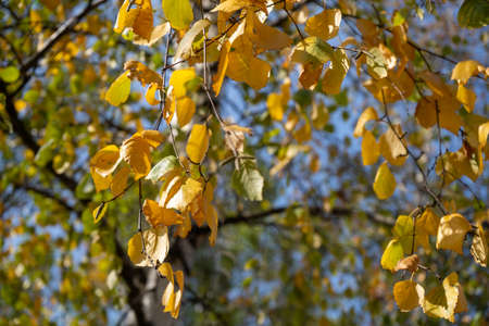Birch tree in the Fall. Birch yellow and green leaves in the autumn.